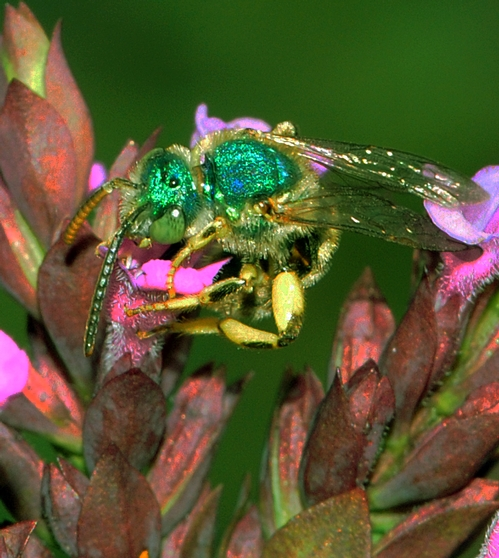 THIS MALE green metallic sweat bee, Agapostemon texanus, looks as if someone poured fluorescent paint on it. It's about one-fourth the size of a honey bee. (Photo by Kathy Keatley Garvey)