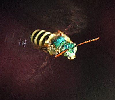 IN FLIGHT--This tiny green metallic sweat bee is in a hurry. (Photo by Kathy Keatley Garvey)
