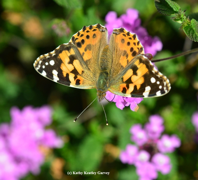 A Painted Lady (Vanessa cardui) nectaring on lantana on Black Friday. (Photo by Kathy Keatley Garvey)