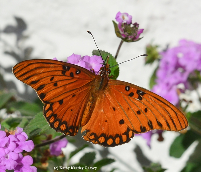 A Gulf Fritillary butterfly nectaring on lantana on Black Friday. (Photo by Kathy Keatley Garvey)