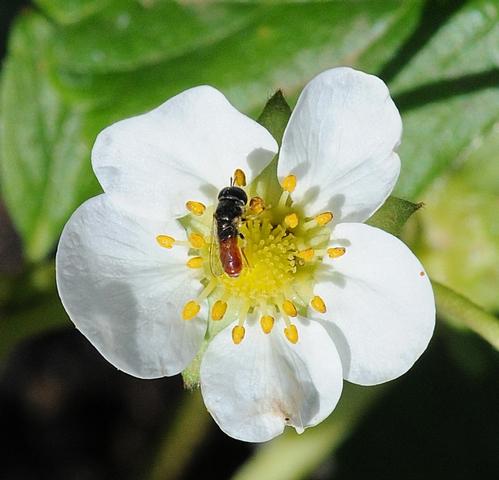 THIS TINY HOVER FLY is nectaring on a strawberry blossom at the Häagen-Dazs  Honey Bee Haven, a half-acre bee friendly garden being developed on Bee Biology Road, UC Davis. This hover fly is most likely from the genus Paragus sp., said UC Davis emeritus professor and pollinator specialist Robbin Thorp. (Photo by Kathy Keatley Garvey)