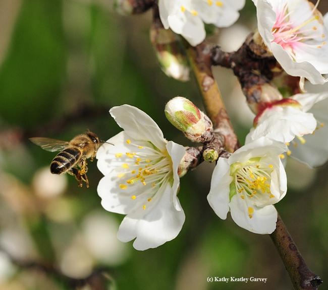 Honey bee pollinating an almond blossom. (Photo by Kathy Keatley Garvey)