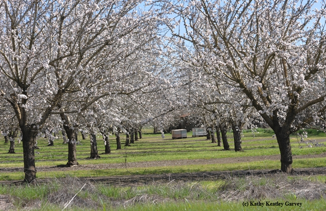 An almond orchard in spring of 2013 in Dixon. (Photo by Kathy Keatley Garvey)