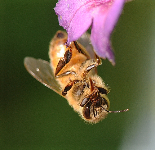 "HONEY BEE RESEARCH will be one of the topics at the UC Davis Department of Entomology's fall seminars. On Oct. 28, insect virus researcher Michelle Flenniken, Haagen-Dazs Postdoctoral Fellow, will speak on ""Microarray-Based Pathogen Detection and the Antiviral Role of RNA Interference in Honey Bees."" (Photo by Kathy Keatley Garvey)"