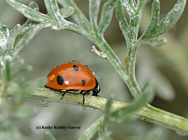 Rain drops falling on a lady beetle, aka ladybug. (Photo by Kathy Keatley Garvey)