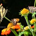 A Western Tiger Swallowtail readies for a landing on the same flower occupied by a Gulf Fritillary. (Photo by Kathy Keatley Garvey)