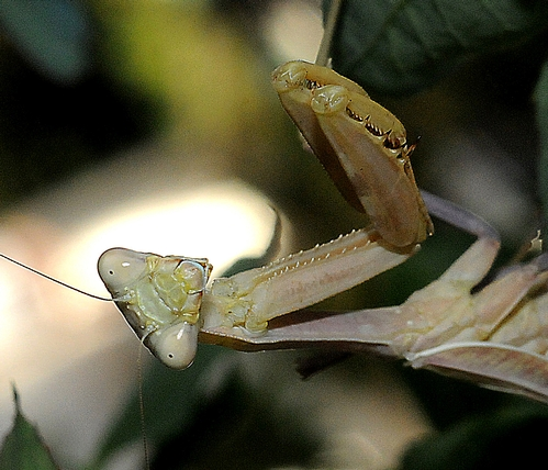 ARE YOU A PREY?--A pugnacious praying mantis eyes the photographer. (Photo by Kathy Keatley Garvey)