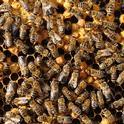 Inside the hive. (Photo by Kathy Keatley Garvey)