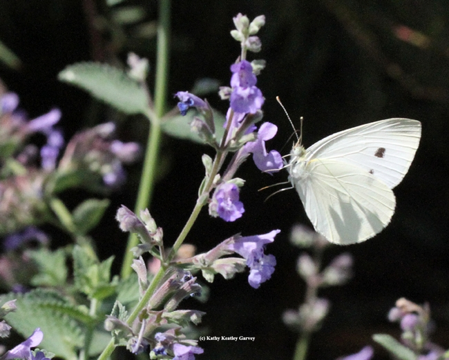 A cabbage white butterfly on catmint in Vacaville, Solano County. (Photo by Kathy Keatley Garvey)