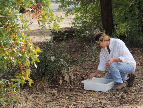 BEE BREEDER-GENETICIST Susan Cobey releases the Jerusalem cricket on the Harry H. Laidlaw Jr. Honey Bee Research facility grounds. It was found inside the facility. (Photo by Kathy Keatley Garvey)