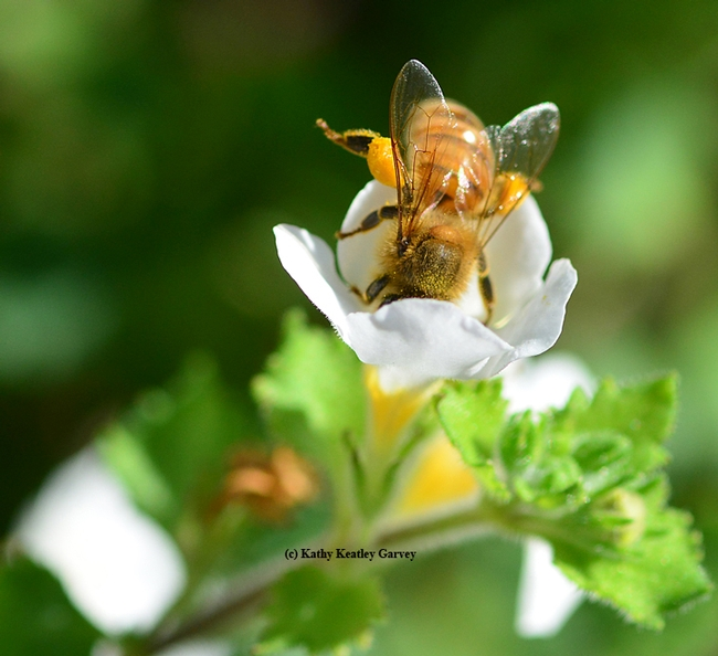 C'mon in, the pollen's fine! A honey bee reaching for pollen.(Photo by Kathy Keatley Garvey)