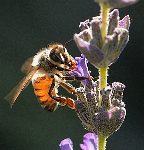 HONEY BEE nectaring lavender. Los Alamos National Laboratory has developed a method for training the common honey bee to detect the explosives used in bombs. The method involves the tongue or proboscis. (Photo by Kathy Keatley Garvey)