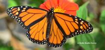 A male monarch nectaring Mexican sunflower (Tithonia). (Photo by Kathy Keatley Garvey) for Bug Squad Blog