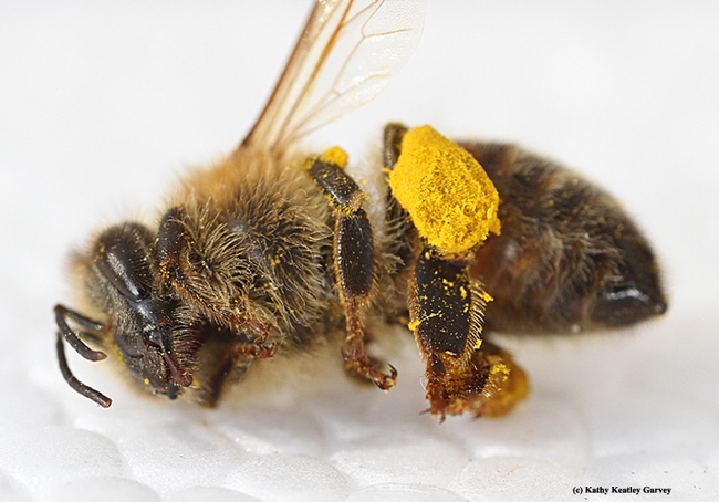 This dead honey bee with a load of pollen was among dozens found outside the Robert and Margrit Mondavi Center for the Performing Arts on the UC Davis campus. (Photo by Kathy Keatley Garvey)