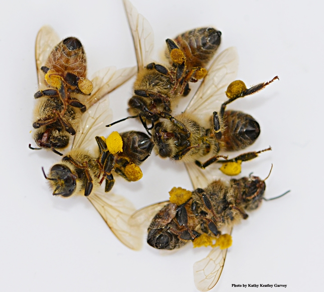 Dead bees, with pollen loads intact. (Photo by Kathy Keatley Garvey)
