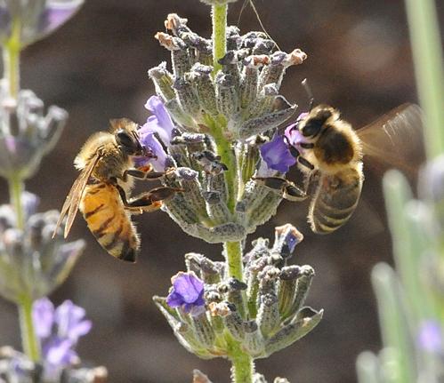 دو نژاد مختلف زنبورعسل در حال جمع اوري شهد