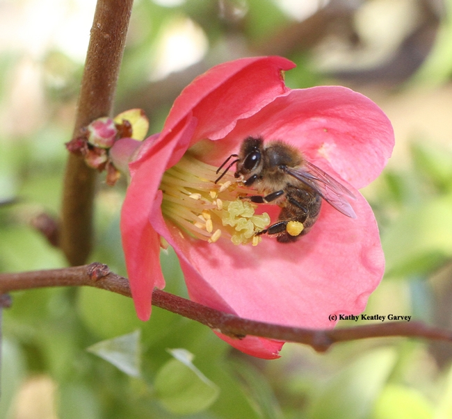 Honey bee foraging in a flowering quince. (Photo by Kathy Keatley Garvey)