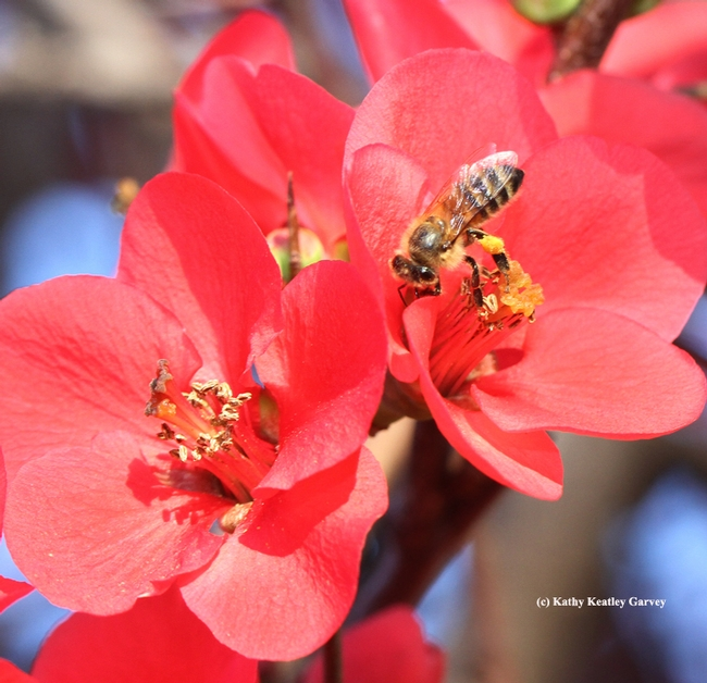 Honey bee on a sea of pink: flowering quince. (Photo by Kathy Keatley Garvey)