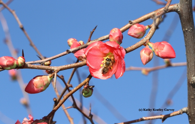 Blue skies, an early blooming quince, a honey bee and all's right with the world. (Photo by Kathy Keatley Garvey)