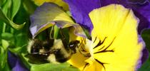 A queen black-tailed bumble bee, Bombus melanopygus, foraging on pansies on Jan. 22, 2014. (Photo by Kathy Keatley Garvey) for Bug Squad Blog