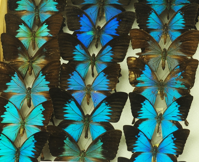 Ulysses butterfly (Papilio ulysses) collection in the Bohart Museum of Entomology. These are all males. The females have barely any blue on their wings. (Photo by Kathy Keatley Garvey)