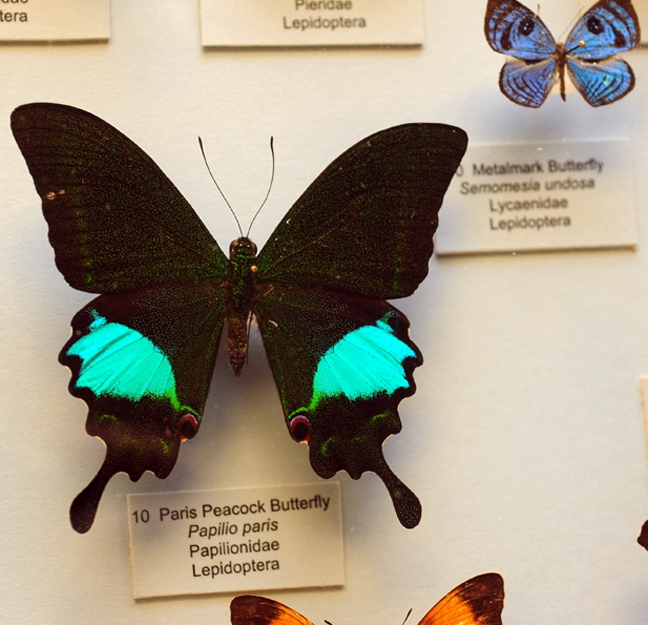 This is a Paris peacock butterfly (Papilio paris), part of the Bohart Museum of Entomology collection. (Photo by Kathy Keatley Garvey)