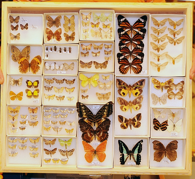 The Bohart Museum of Entomology houses nearly eight million specimens from all over the world. Here are some of the butterfly specimens. (Photo by Kathy Keatley Garvey)