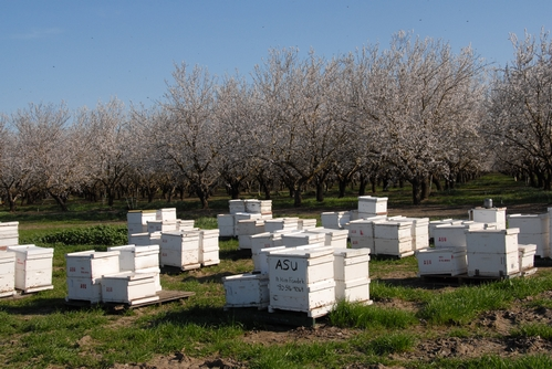 BEES in these hives are part of the Robert E. Page Jr. honey bee research program at UC Davis. This photo was taken in a Dixon, Calif. almond orchard. (Photo by Kathy Keatley Garvey)