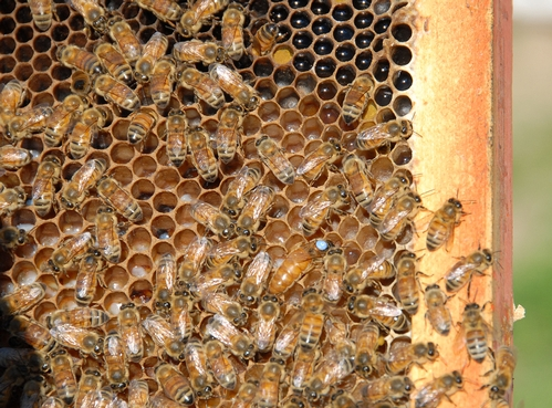 QUEEN BEE (with dot) surrounded by worker bees. These bees are part of the Robert E. Page Jr. honey bee research program at UC Davis. Page and colleague Gro Amdam, both of Arizona State University, are featured in the Oct. 23rd edition of Science. Page, emeritus professor of entomology at UC Davis, continues his research at Davis. (Photo by Kathy Keatley Garvey)