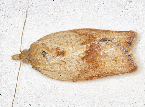 Female Light Brown Apple Moth