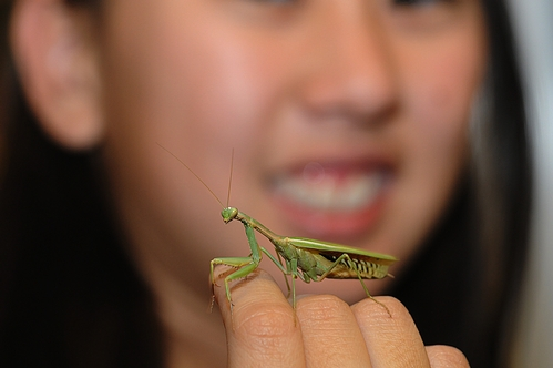 PRAYING MANTIS perches on Nanase Nakanishi's hand at the Bohart Museum of Entomology, UC Davis. (Photo by Kathy Keatley Garvey)