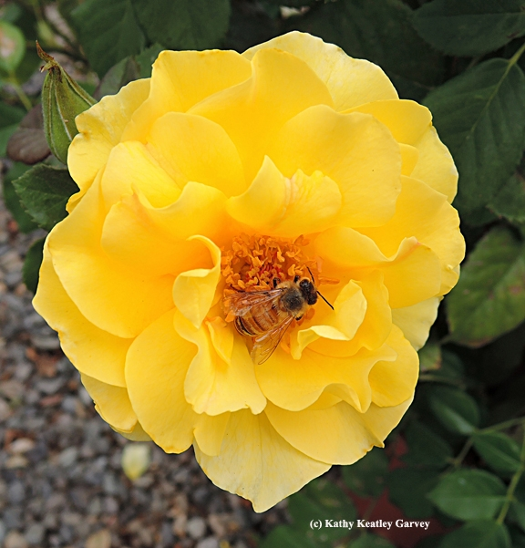 Honey bee foraging on a rose. (Photo by Kathy Keatley Garvey)