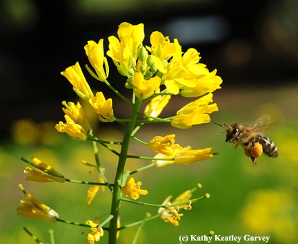 A honey bee with a huge pollen load heads for more mustard pollen. (Photo by Kathy Keatley Garvey)