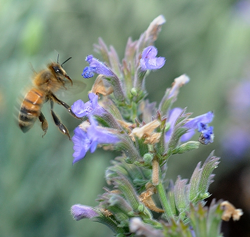 Honey Bee and Catmint