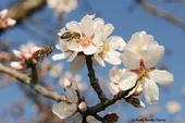 Two bees heading for the same almond blossom. (Photo by Kathy Keatley Garvey)