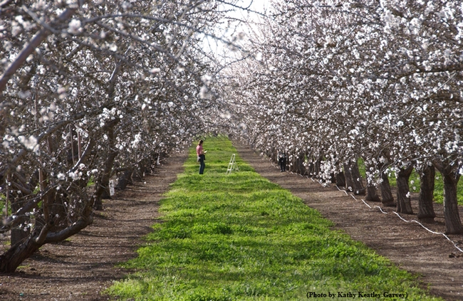 A University of California researcher in a Capay Valley almond orchard. (Photo by Kathy Keatley Garvey)