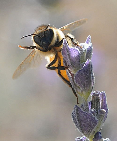 THIS HONEY BEE, on a lavender blossom, appears to