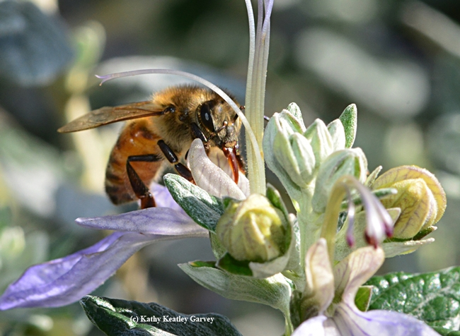 A honey bee gathering nectar from a bush germander at CornerStone Sonoma. (Photo by Kathy Keatley Garvey)
