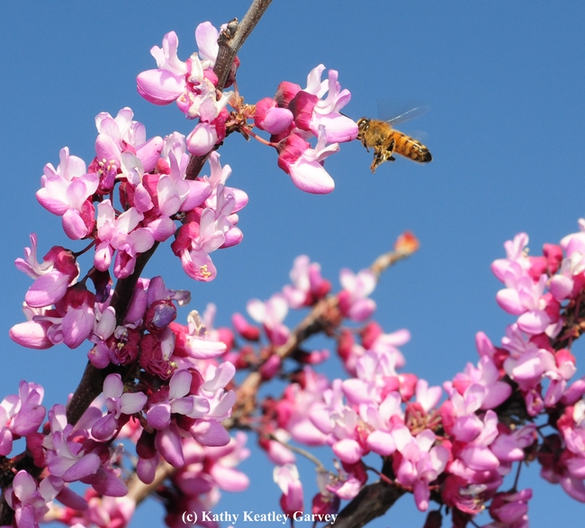 A honey bee foraging on a redbud, Cercis canadensis, at the UC Davis Arboretum Teaching Nursery. (Photo by Kathy Keatley Garvey)