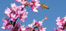 A honey bee foraging on a redbud, Cercis canadensis, at the UC Davis Arboretum Teaching Nursery. (Photo by Kathy Keatley Garvey) for Bug Squad Blog