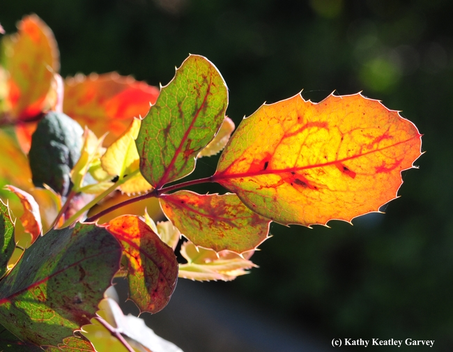 An Oregon grape, Berberis aquifolium, glows in the UC Davis Arboretum Teaching Nursery. (Photo by Kathy Keatley Garvey)