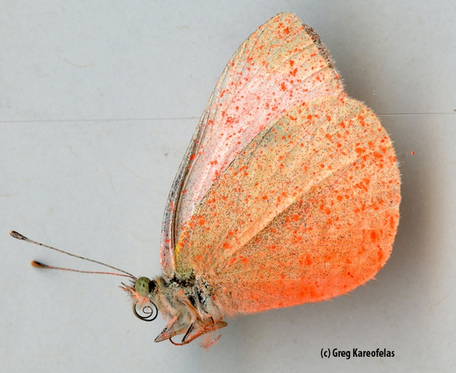 Ventral view: a cabbage white butterfly sprayed pink. (Photo by Greg Kareofelas)