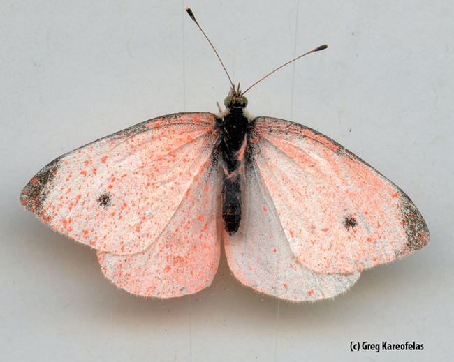 Dorsal view: the cabbage white butterfly sprayed pink. (Photo by Greg Kareofelas)