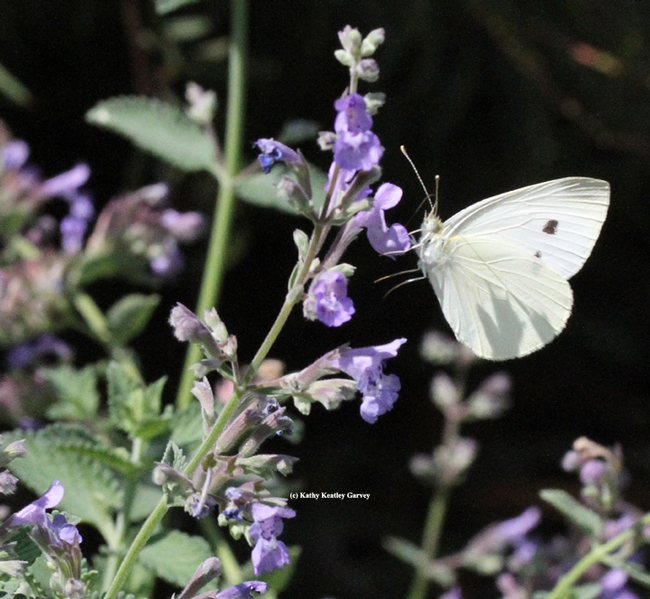 A cabbage white butterfly in the wild. (Photo by Kathy Keatley Garvey)
