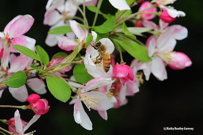 Honey bee foraging on flowering crab apple. (Photo by Kathy Keatley Garvey)