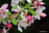 Honey bee foraging on flowering crab apple. (Photo by Kathy Keatley Garvey)