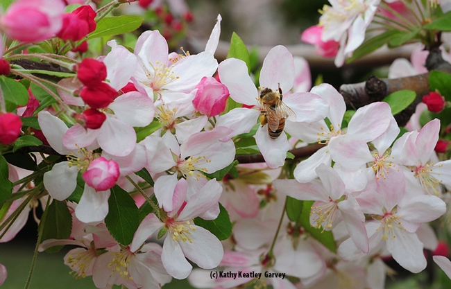 Check out the pollen load of this honey bee on flowering crab apple. (Photo by Kathy Keatley Garvey)
