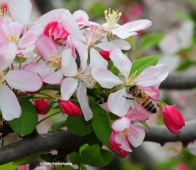 This bee is coated with pollen from the crab apple blossoms. These photos were taken in the Sonoma Cornerstone gardens. (Photo by Kathy Keatley Garvey)