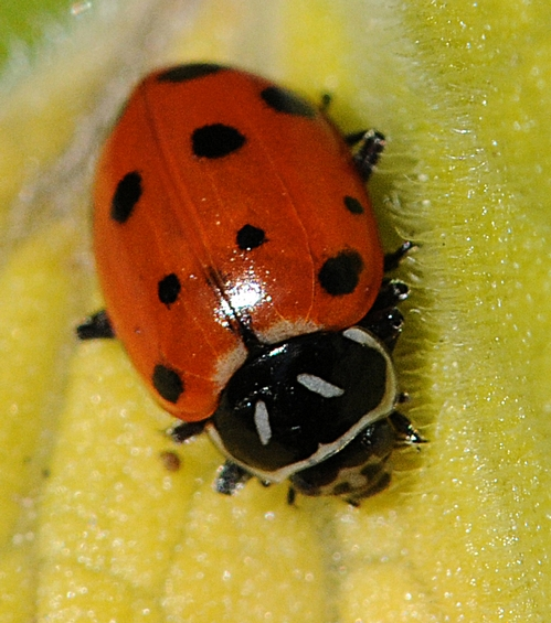 LADYBUG crawls on a leaf at the UC Berkeley Botanical Garden. (Photo by Kathy Keatley Garvey)