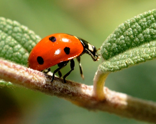 LADYBUG searching for more aphids. (Photo by Kathy Keatley Garvey)